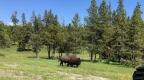 Tatonka – Buffalo or Beefalo?