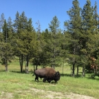Tatonka – Buffalo or Beefalo?